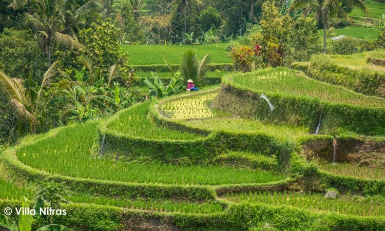 Jatiluwih rice terraces to be a photographer and take a photo tour of the Unesco rice fields which are better than tegalalang bali rice fields or bali rice terraces
